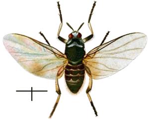 Black fly - Simulium trifasciatum