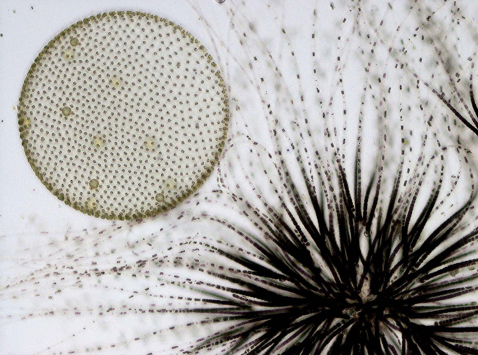 Volvox and Gloeotrichia colonies