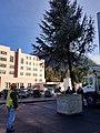 Sitka Spruce Christmas Tree - Ketchikan.jpg