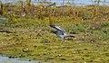 Skogsduva Stock Dove (19730362773).jpg