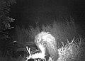 Skunk (6492408391).jpg