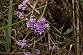 Slatinski cvet - Limonium gmelinii 2.jpg