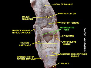 https://upload.wikimedia.org/wikipedia/commons/thumb/7/76/Slide16sss.JPG/300px-Slide16sss.JPG Arytenoid