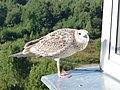 Small seagull on balcony.JPG