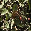 Smilax aspera 2 RF.jpg
