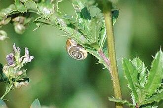 Monacha cartusiana - Monacha cartusiana