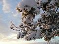 Snow covered pine (395140343).jpg