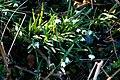 Snowdrops (Galanthus nivalis) - geograph.org.uk - 695968.jpg