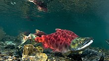 Sockeye salmon swimming right.jpg