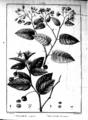 Solanum crispum Flora peruviana et chilensis.png