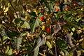 Solanum dulcamara b1.JPG