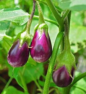 Eggplant plant species Solanum melongena