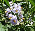 Solanum sp. - Flickr - gailhampshire.jpg