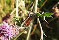 Soldier beetle (20409871249).jpg