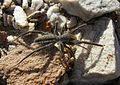 Solfugid in veld near Uniondale (Western Cape) 1600.jpg