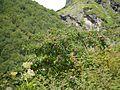 Sorbus ¿ aucuparia - foliolosa ? (7821776986).jpg