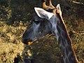 South African Giraffe 14.jpg