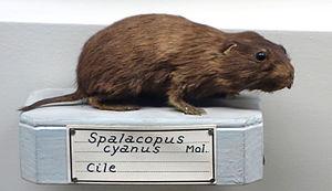 Coruro - Image: Spalacopus cyanus Museo Civico di Storia Naturale Giacomo Doria Genoa, Italy DSC02864