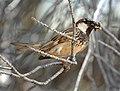 Spanish Sparrow (514899432).jpg