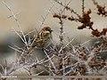 Spanish Sparrow (Passer hispaniolensis) (33619699710).jpg
