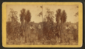 Spanish bayonet, from Robert N. Dennis collection of stereoscopic views 2.png