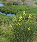 Spartium junceum, Sainte-Lucie Island, Aude 01.jpg