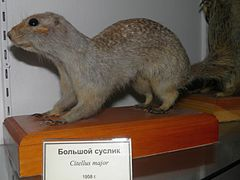 Spermophilus major.jpg