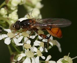 Sphegina sibirica (female)2.jpg