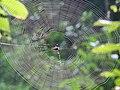 Spiderweb from Kerala 04.jpg
