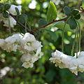 Spiraea prunifolia japan.jpg