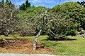 Spondias purpurea - Fruit and Spice Park - Homestead, Florida - DSC08925.jpg