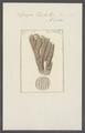 Spongia tupha - - Print - Iconographia Zoologica - Special Collections University of Amsterdam - UBAINV0274 112 02 0014.tif