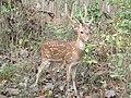 Spotted Deer IMG 0270.jpg