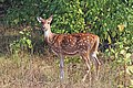 Spotted deer (Axis axis) female.jpg