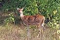 Spotted deer (Axis axis) female.jpg