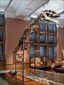 Squelette de Cératosaure (Kelvingrove, Glasgow) (3841947305).jpg