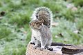 Squirrel - January 2010 (4240485861).jpg