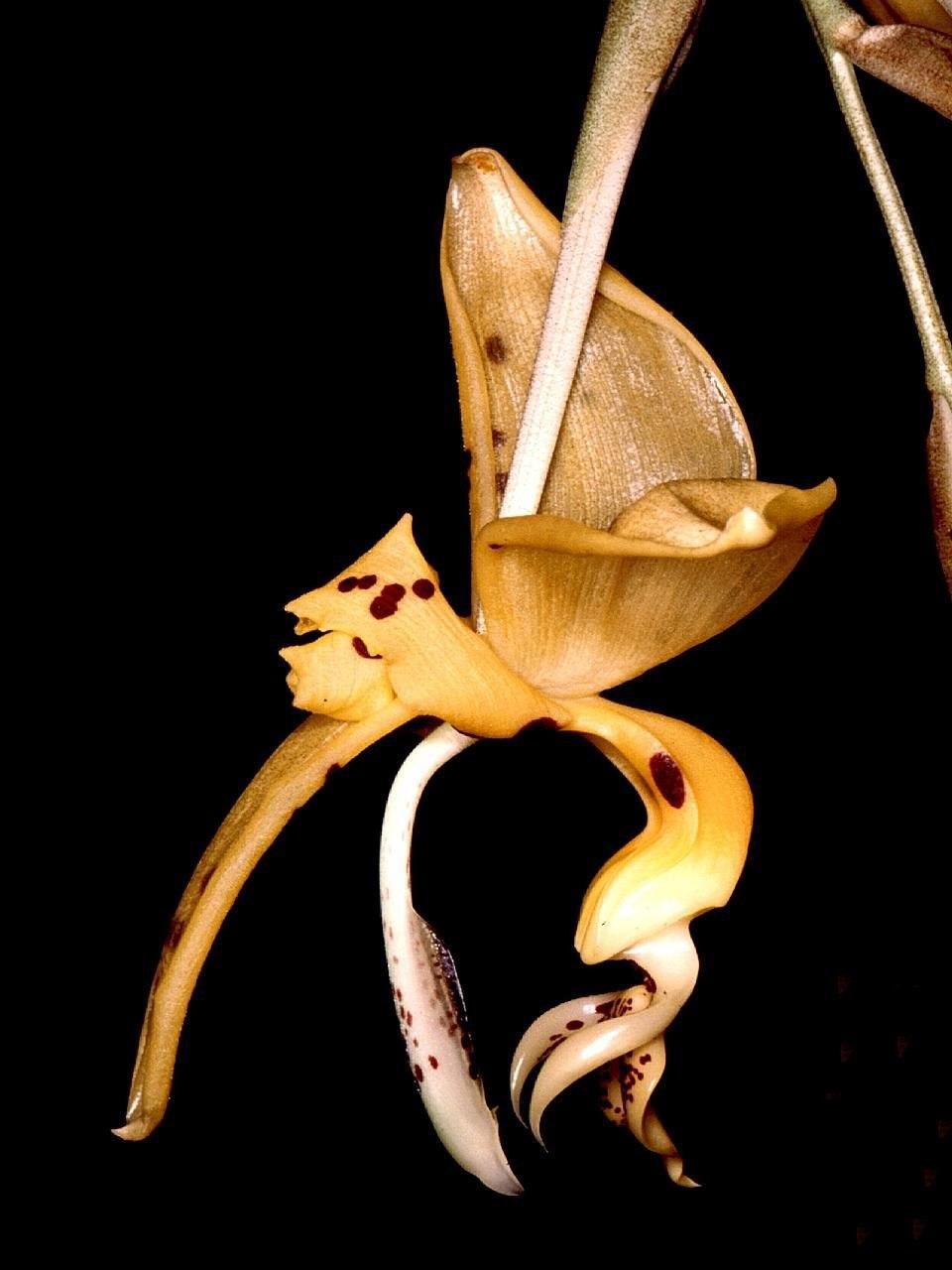Stanhopea jenischiana Orchi 001