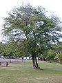 Starr-010206-0226-Prosopis pallida-flowers-Kanaha Beach-Maui (23902895364).jpg