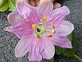 Starr-010423-0063-Passiflora tarminiana-flower-Kula-Maui (24424124092).jpg