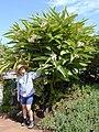 Starr-020617-0022-Alpinia zerumbet-with Lee-Kihei-Maui (24467599491).jpg
