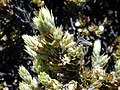 Starr-020625-0033-Leptecophylla tameiameiae-Trupanea limpidapex-Kalahaku HNP-Maui (23923326343).jpg