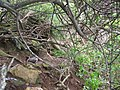 Starr-050405-5851-Schinus terebinthifolius-habit-Keopuka-Maui (24375270039).jpg