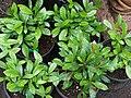 Starr-070906-8596-Synsepalum dulcificum-habit-Kula Ace Hardware and Nursery-Maui (24865370046).jpg