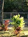Starr-080328-3930-Cordyline fruticosa-habit-Makawao-Maui (24788782242).jpg