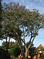 Starr-080417-4086-Jacaranda mimosifolia-flowering habit with backhoe parked beneath-Makawao-Maui (24813574481).jpg