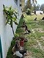Starr-080531-4776-Dracaena fragrans-in pot with Laysan albatross chicks-Charlie barracks Sand Island-Midway Atoll (24283848443).jpg