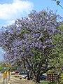 Starr-090513-7522-Jacaranda mimosifolia-flowering habit-Haleakala Hwy Kula-Maui (24659166830).jpg