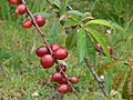 Starr-090514-7837-Prunus persica var nucipersica-fruit-Kula-Maui (24324678664).jpg