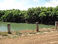 Starr-090616-0699-Syzygium cumini-habit by reservoir-Hamakuapoko Paia-Maui (24333762984).jpg